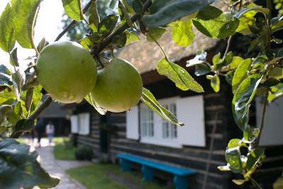 Apfelbäume gehören untrennbar in den Bauerngarten des Freilandmuseums Lehde. Foto: Museum OSL